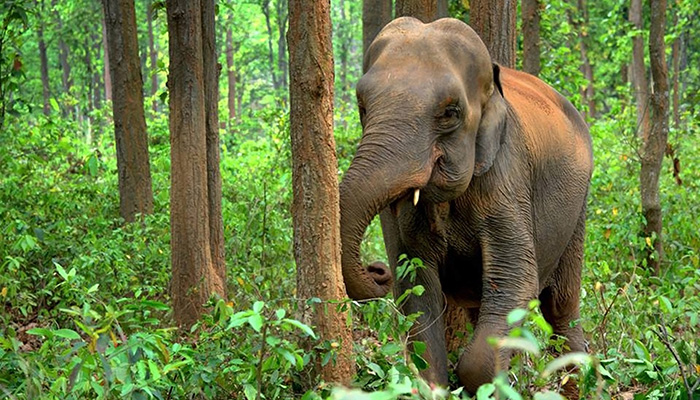 Rainforest Trust Elephant