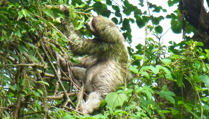 Rainforest Trust Sloth
