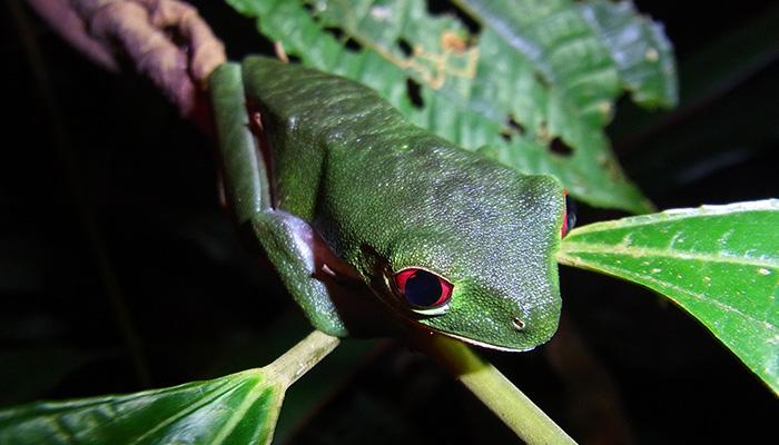 Rainforest Trust Frog